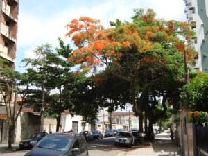 Flanboyang florido. Rua Arnaldo de Carvalho, próximo a Rua Espírito Santo.