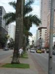 As centenárias palmeiras da Av. Ana Costa.